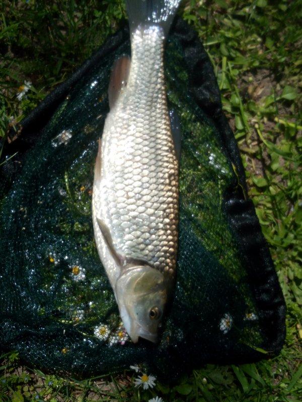 Petit tour à la mouche plus d'une 10en de fish