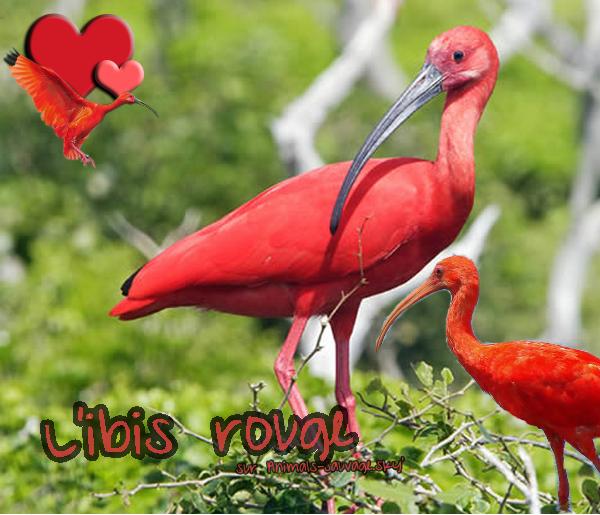 ♦ L'Ibis rouge. 05.07.11