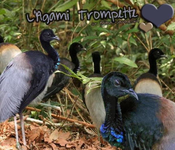 ♦ L'Agami Trompette. 06.07.11