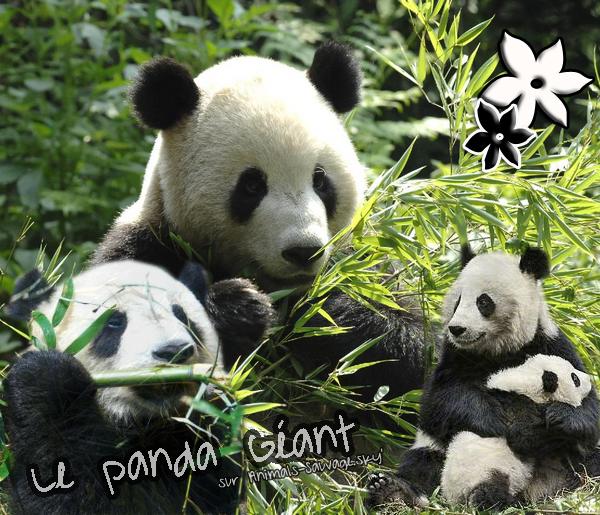 ♦ Le Panda Géant de Chine. 06.07.11