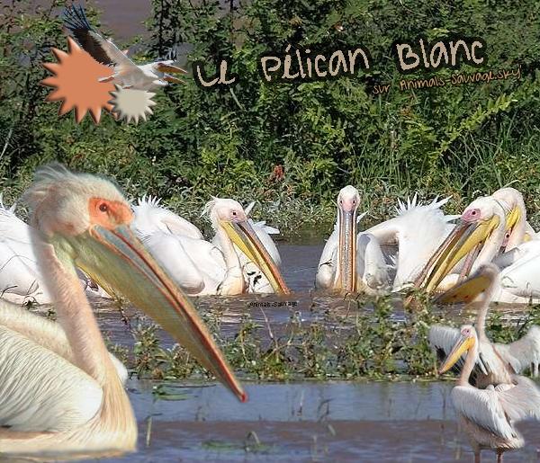 ♦ Le Pélican Blanc. 11.07.11