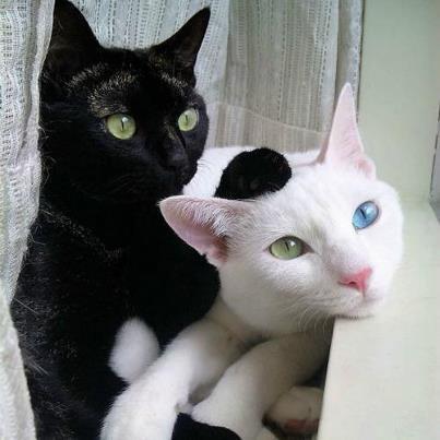 Un chat noir aux yeux vert et un chat blanc qui a un oeil vert et l\u0027autre  bleu