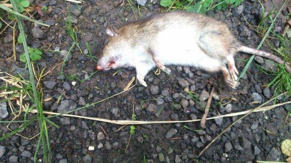 Rat flinguer