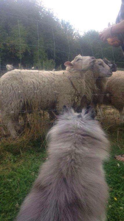 Clyde et les moutons