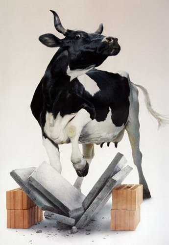 mes vaches du moment