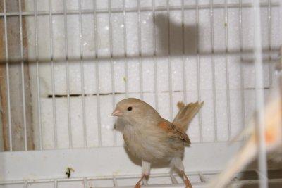Une femelle satiné mos.rge (magnifique)