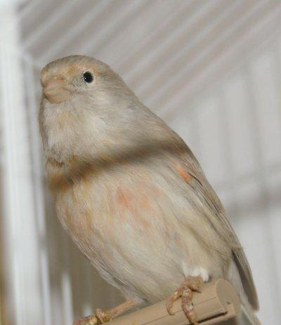 femelle opal mos rge