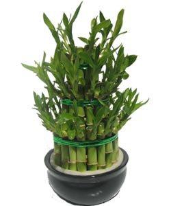 Bamboo Lucky Le Pouvoir Des Fleurs Par Laurencefleurs