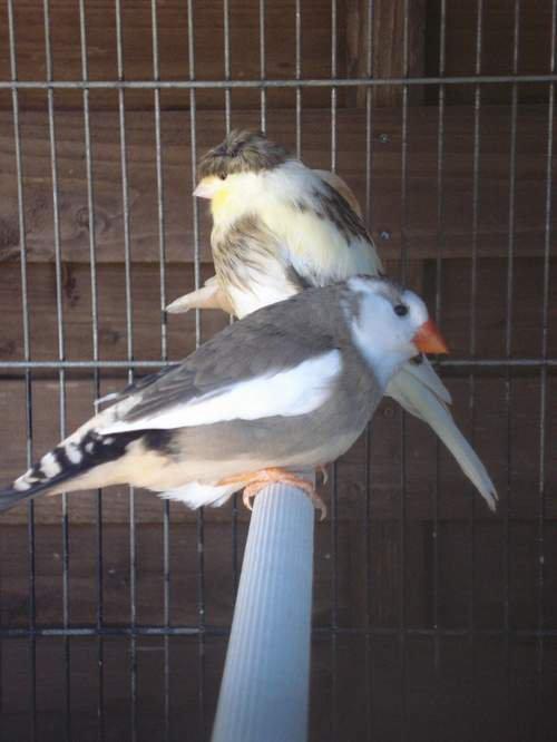Quelques photos de mes jeunes gloster et mandarin
