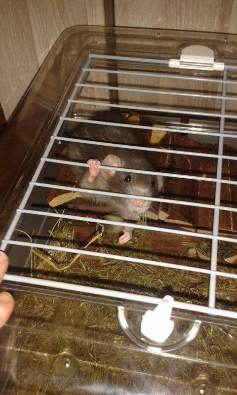 mon rat nemo