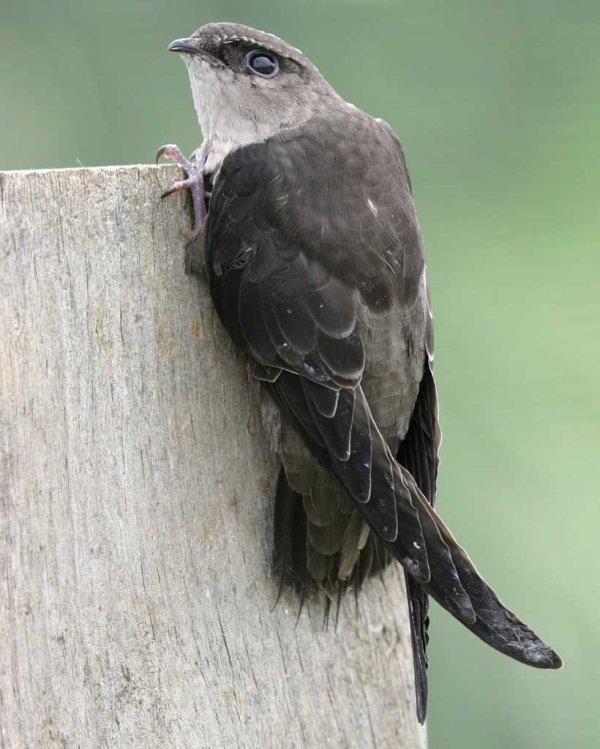 Le retour des oiseaux d'Alfred Hitchkok