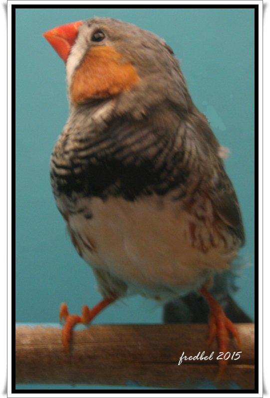 voici les oiseaux de mes enfants!!! les mandarins de Doris