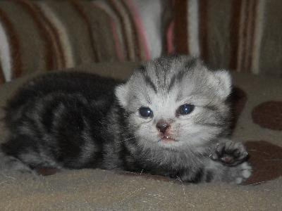 isotis mâle british shorthair black silver tabby blotched disponible