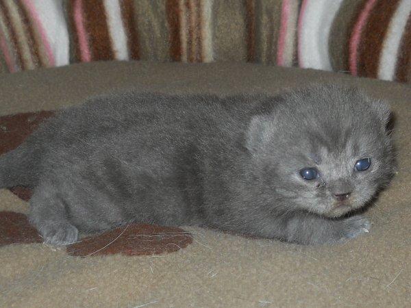 izaora femelle british shorthair blue tabby blotched disponible