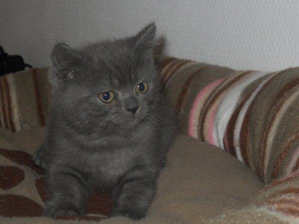 izaora rebaptisée izou british shorthair blue réservée par philippe