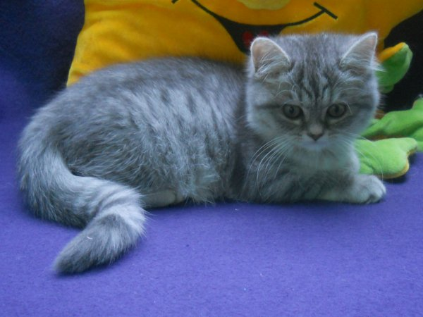itawa british shorthair blue silver shaded disponible