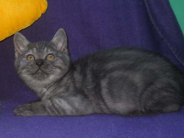 iznogould mâle  british shorthair black smoke disponible