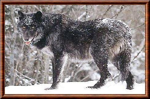 Le loup de Colombie