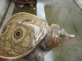 Nilssonia formosa – Trionyx de Myanmar