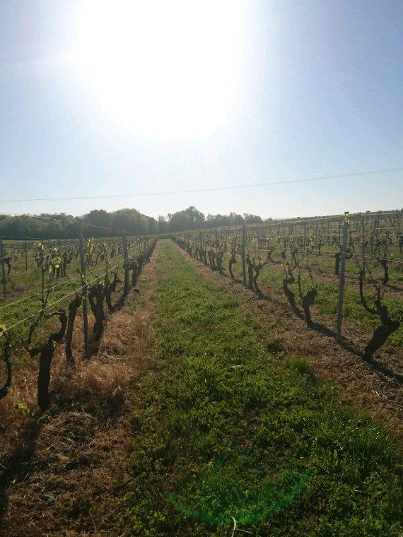 Les vignes à Saint Simeux