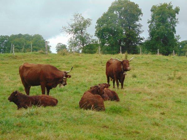 Salers (race bovine)