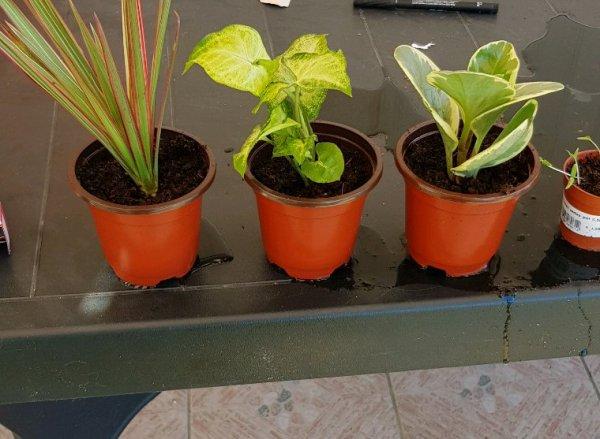 Petit rempotage de plante verte