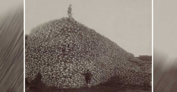 1870 Cranes de Bison (pour engrais ...)