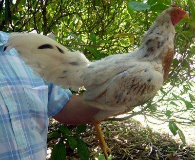 Mon coq pur porto-ricain (gallino)