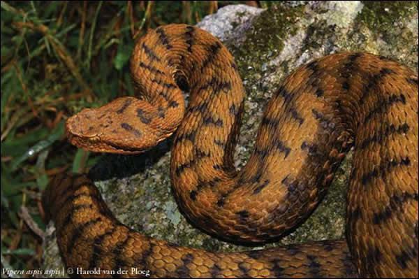 Serpent tigre