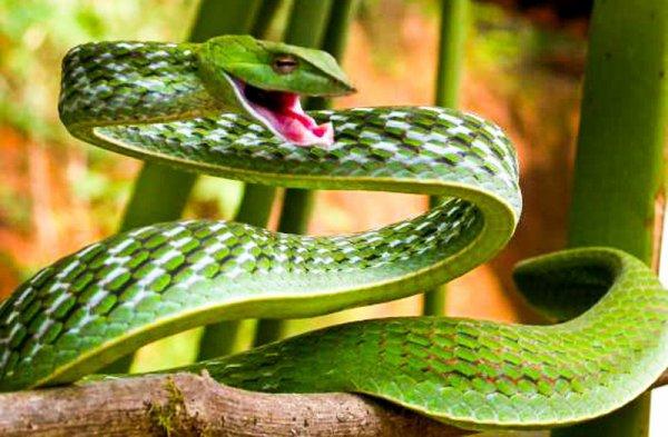 Serpent liane