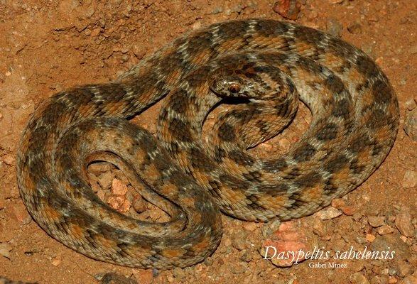 Serpent mangeur d'½ufs