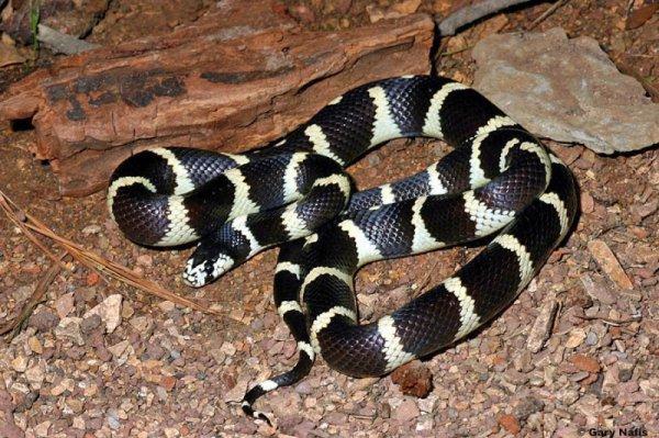 Serpent roi