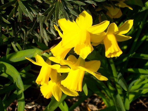 Frühlingsboten in meinem Garten