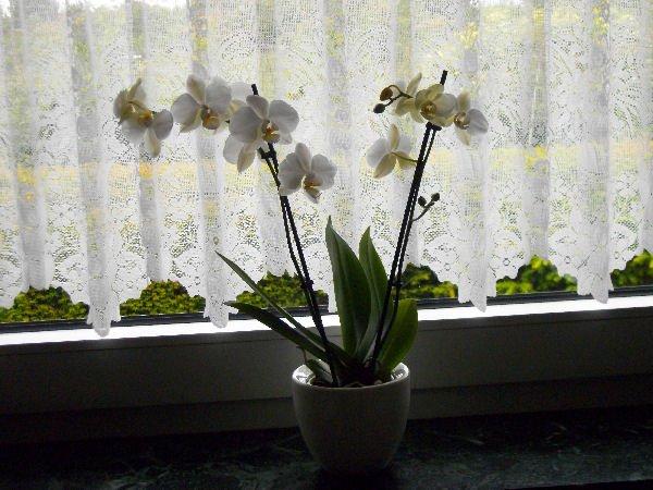 Zweisamkeit: Orchidee und Amaryllis (heute fotografiert)