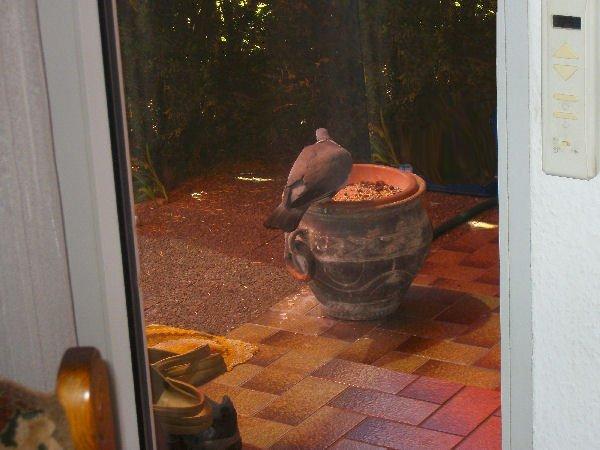 Der dicke Taubenvater hat mich auch mal wieder besucht und sich satt gefressen