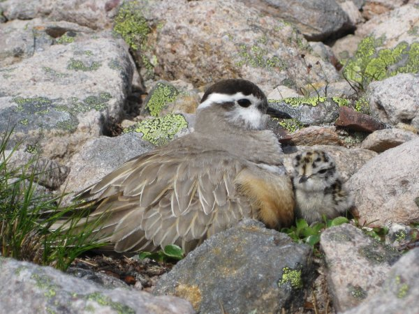 The Arctic is going crazy and the Dotterels,too...
