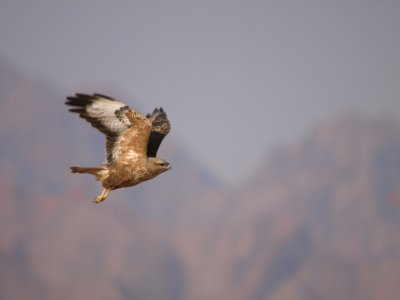 More Steppe Buzzards than flies…!