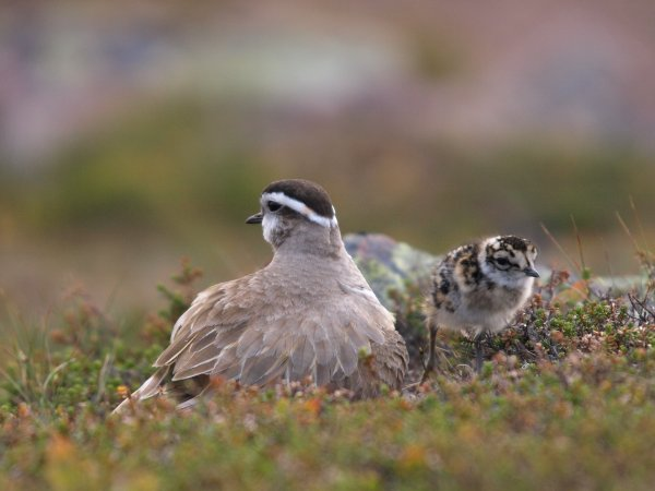 The role of female Dotterel in arctic Norway