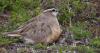 Neue Feldstudien über die Fortpflanzung des Mornellregenpfeifers im arktischen Norwegen