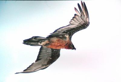 Der Phönix ist wieder da  ! (Reintroduction of Bearded Vultures in the Alps)