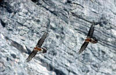 Première tentative de nidification d'un couple de Gypaètes barbus (Gypaetus barbatus )  issus  de réintroduction  dans les Alpes et remarques comportementales