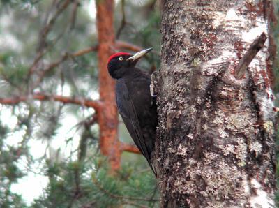 Réactions d'un couple de Pics noirs (Dryocopus martius) à la repasse de leurs cris et chants. –