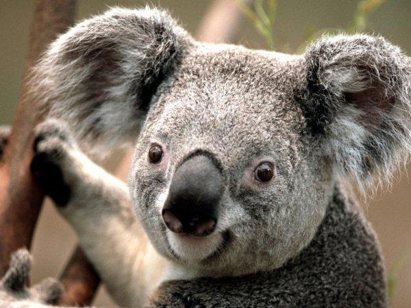 Trop mimi le koala