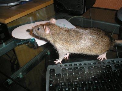 T'entends Ce Rythme Endiablé, Ca, Ca Fait Danser Les Rats, Ca