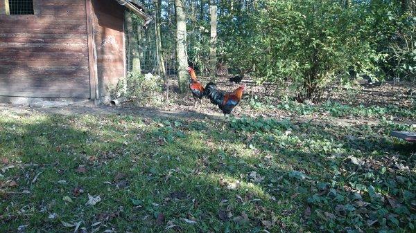 poulet cousin tony