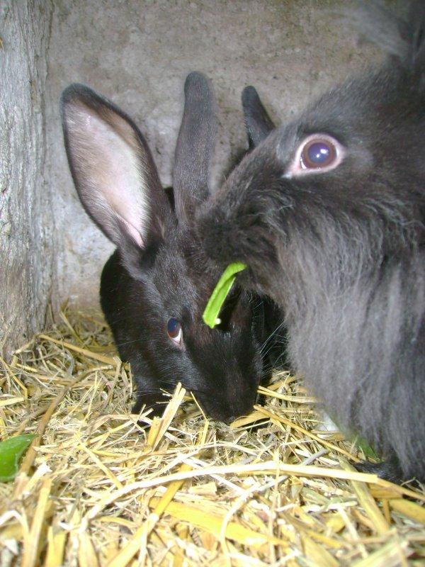 Mes lapins et les peaux de pois !!!