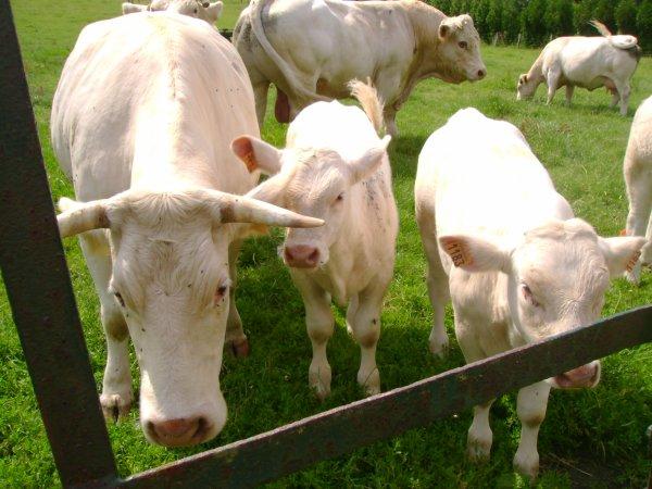 Vaches, taureau et veaux 2012 !!!