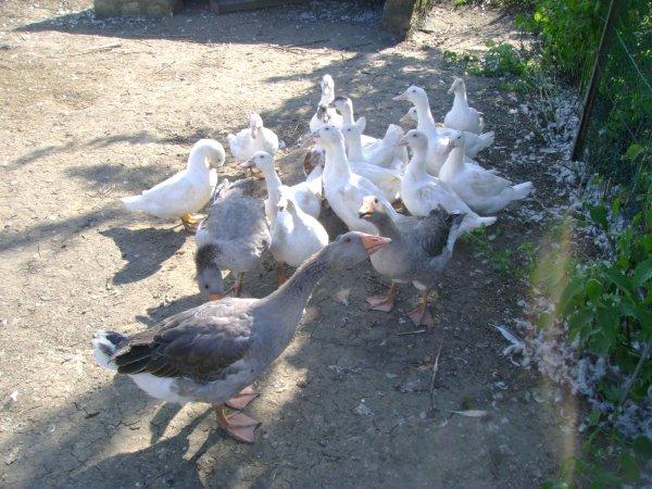 Oies et canards 2012