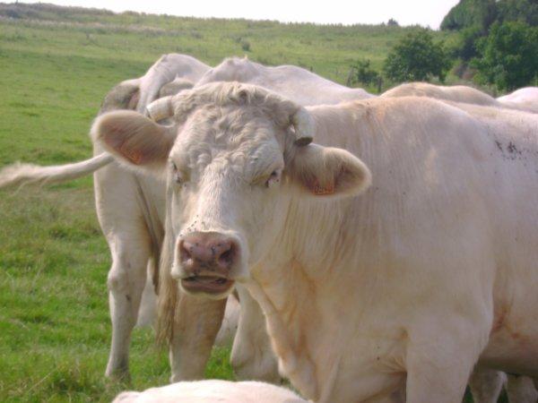Nouvelles des vaches ♥