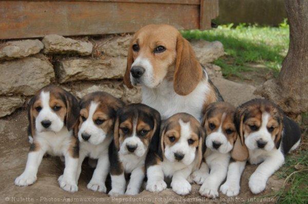 Le beagle blog de toutous passion - Chien beagle adulte ...